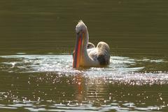 juvenile great  pelican swimming on pond ( Pelecanus onocrotalus ) - stock photo