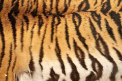 real tiger black stripes on colorful animal skin - stock photo