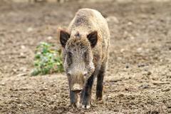 Wild boar looking towards camera ( Sus scrofa ) Stock Photos