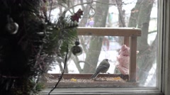 Christmas tree with lights out focus in back tit eating lard in manger Stock Footage