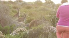 Girl walking towards Kangaroos at sunset Stock Footage
