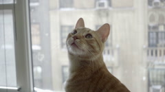 Cat looking up - orange tabby kitten sitting on window sill with city view NYC Stock Footage