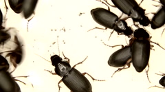 Black bugs isolated on white background Stock Footage