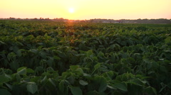 Soy Crop Pan At Sunset Stock Footage