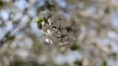 Flowering branch apricots in the open air Stock Footage