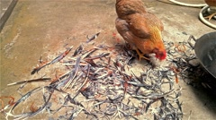 Roosters walking around a stack of feather looking for food Stock Footage