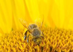 Honey bee on a sunflower Stock Photos