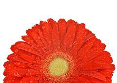 Dewy gerbera flower Stock Photos