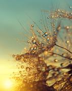 Stock Photo of Dewy dandelion flower at sunrise close up.