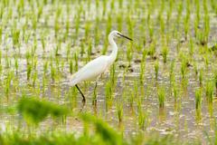 Egret Bird in Rice field new born in soft light - stock photo