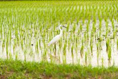 Egret Bird in Rice field new born in soft light Stock Photos