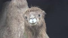 Wet from the rain camel head, zoo, fog, rain Stock Footage