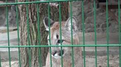 Cougar head through the bars in the cage, captivity, zoo, rain, fog Stock Footage