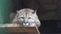 Puma is on a pedestal, in captivity, zoo, rain, fog Stock Footage
