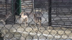 Stock Video Footage of Young deer in a pen, in captivity, zoo, rain, fog