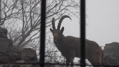 Ibex with large horns standing on the rocks, zoo, rain, fog Stock Footage