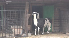 Two Lama on background of wooden structure, in captivity at zoo, fog Stock Footage