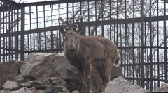 Ibex with large horns standing on the rocks, zoo, rain, fog - stock footage