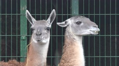 Two Lama on background of grating structure, in captivity at zoo, fog Stock Footage