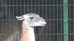 Lama on background of grating structure, in captivity at zoo, fog Stock Footage