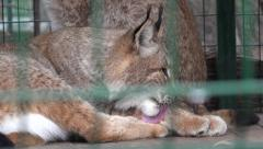 Stock Video Footage of Lynx lying and licking his paw, in captivity, zoo, rain, fog