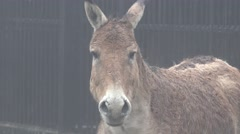 Head of donkey, looking into camera in captivity at zoo, fog, rain Stock Footage