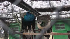 Two colorful peacock bird in captivity behind bars in zoo sitting on a branch Stock Footage