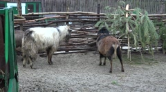 Goats eating hay from the manger, is the small rain, fog,  zoo Stock Footage