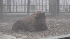 Animal Bison lying in the middle of the cage at the zoo for fencing, city Stock Footage