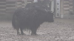 Animal Yak is in the middle of enclosure at the zoo for fencing, city Stock Footage