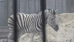 Animal zebra goes behind bars in captivity at the zoo in winter fog, 4k Stock Footage