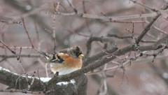 Finch bird sitting on a tree branch in the winter, city, 4k Stock Footage