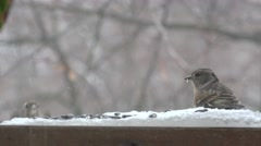 Bird Finch sitting and eating sunflower seeds on bird table in winter Stock Footage
