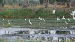 Flock of White Egrets Flying Away - stock footage