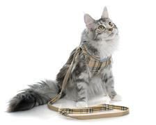 maine coon cat and harness - stock photo