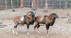 Muflons (ovis gmelini, ovis orientalis) - stock photo