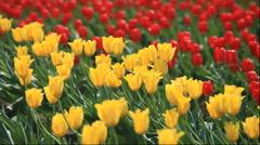Kamiyube Tulip Park in Hokkaido - stock footage