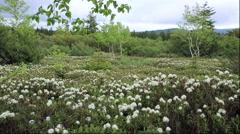 Rhododendron flowers at Mount Io, Hokkaido, Japan Stock Footage
