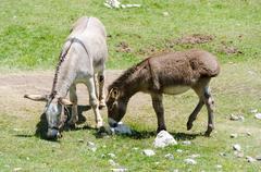 Two donkeys grazing grass - stock photo