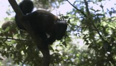 Bearded monkey climbs down tree to collect food. Stock Footage
