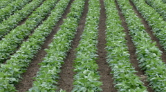 Agriculture, soybean plant in field, vertical panning Stock Footage