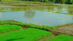 Storks in a Southeast Asian Rice Paddy. Video 4k Stock Footage
