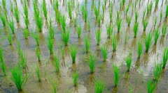 Clustered Rice Stalks in a Southeast Asian Rice Paddy. UltraHD video Stock Footage