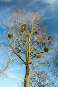 Mistletoe on a tree - stock photo