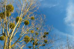 Christmas mistletoe on a tree background - stock photo