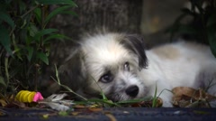 Adorable white puppy dog chews bone Stock Footage