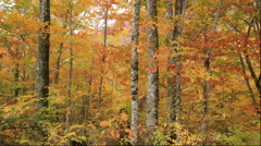 Beech forest of autumn leaves in the Shirakami-Sanchi forest in Akita Prefecture Stock Footage