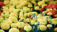 Close up beautiful chrysanthemums flowers on the garden - stock footage