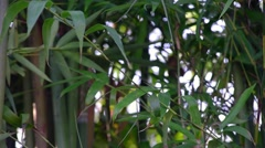 Bamboo shoots in a jungle Stock Footage