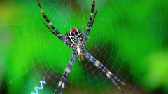Argiope Orb Weaver Spider on its Web. UltraHD video Stock Footage